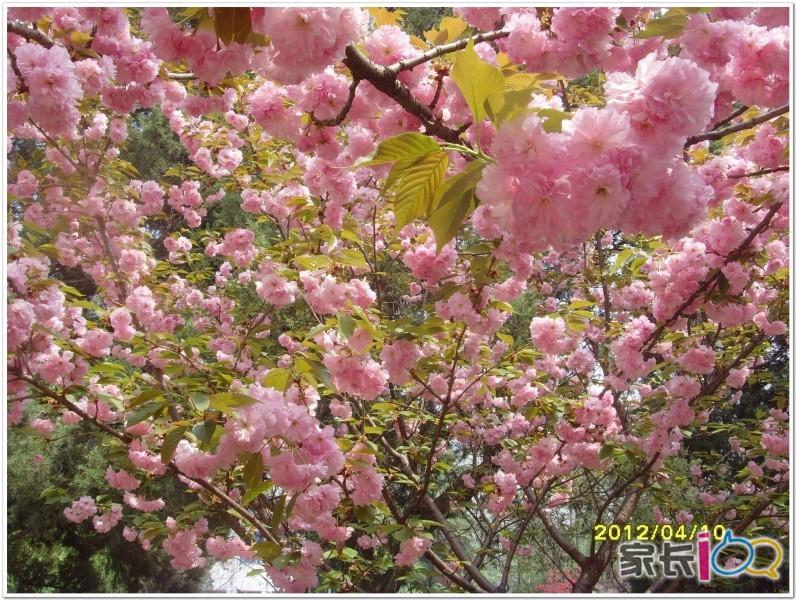 作者: 真我的风采 时间: 2012-4-5 13:05 标题: 中科大罕见绿色樱花下周开花 你知道合肥也有一条樱花大道吗?里面有一株可能是合肥市唯一的绿色樱花。4月1日,中科大西校区赏花图出炉,可不是忽悠人的,图上实实在在标着41处赏花景点,粗略一数,有19种花卉。赏花图由两位学生实景考查、亲手绘制而成,连中科大的老教授都大赞有创意。 何继凌和张宇鹏同来自中科大计算机专业本科三年级,从3月26日开始谋划绘制赏花图,在校园里走一圈,记录下来后,3月28日开始绘图,修改了几版,4月1日上