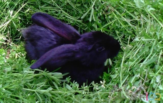 看上去只知道傻吃的兔黑黑无师自通,想别人家养条狗狗还要训练它大小