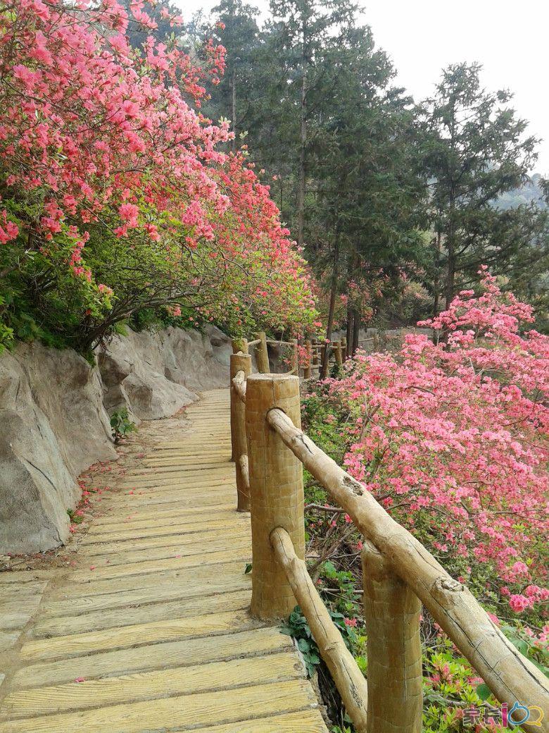 岭上开遍映山红       趁着清明节假期,去了云雾山,平时只要1个半小时图片