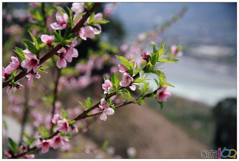 行至海螺沟红石滩一带.白梨花红桃花黄油菜.次递开放.与远处雪山.