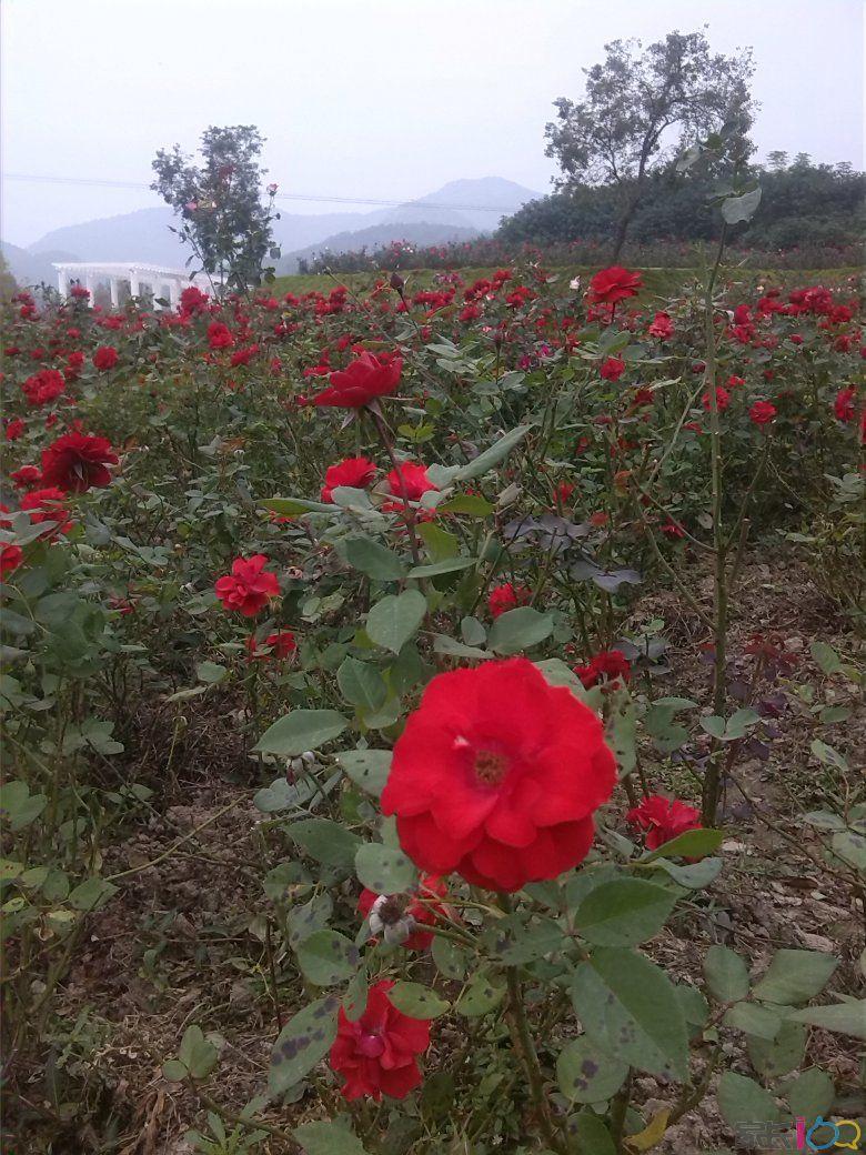 看各种各样的玫瑰花(也有人说是月季花),管他什么呢,大片的花海