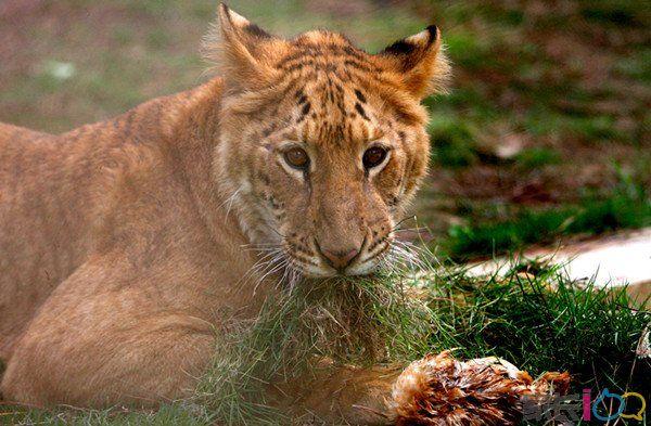 看-老虎戏鸭;看-狮子河东狮吼