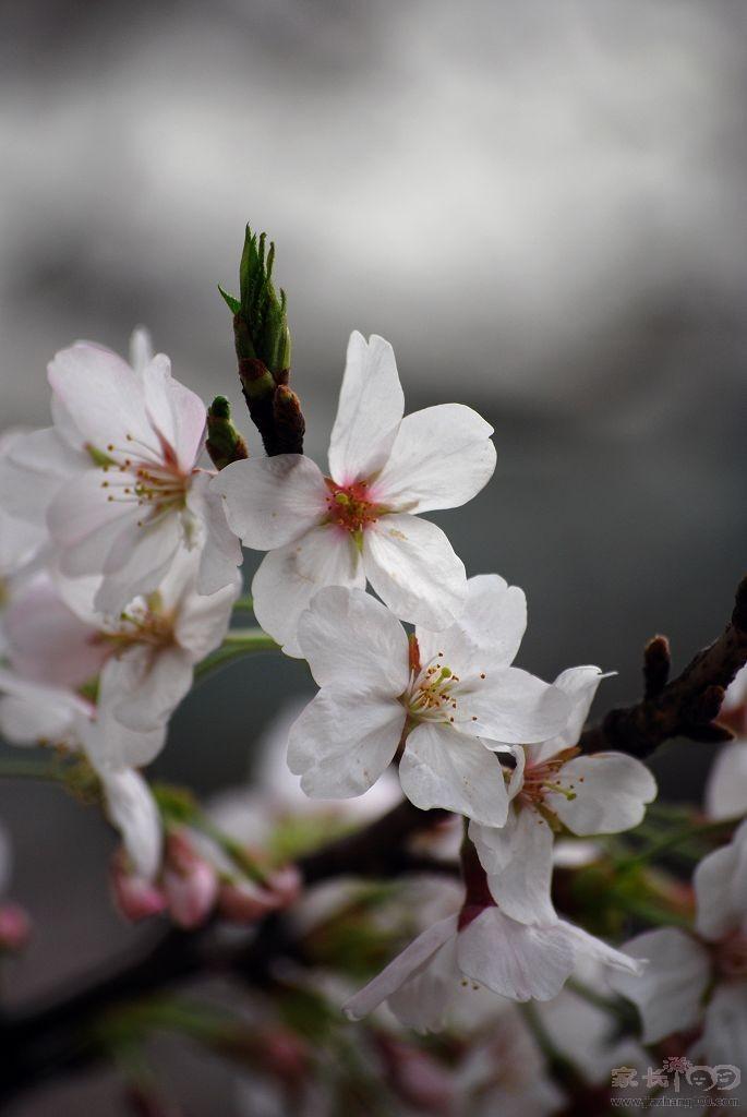 樱花是世界著名的花木,在植物学分类上属蔷薇科樱属
